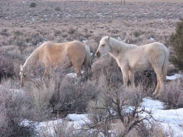 Wild horses in Nevada 2