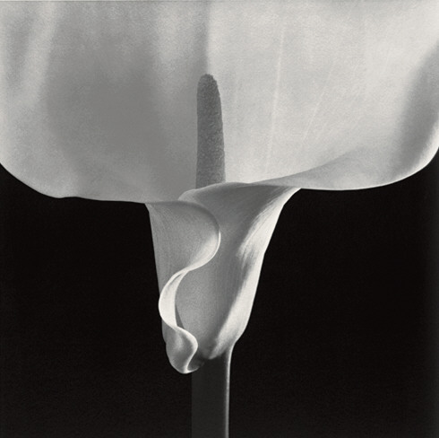 Robert Mapplethorpe, Calla Lily, 1988